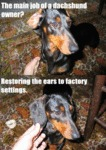 The Main Job Of A Dachshund Owner?