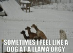 Sometimes I Feel Like A Dog At A Llama Orgy