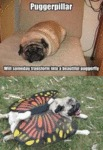 Puggerpillar Will Someday Transform Into...