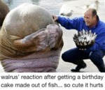 Walrus' Reaction After Getting A Birthday Cake...