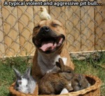 A Typical Violent And Agressive Pitbull..