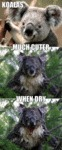Koala Bears: Much Cuter When Dry