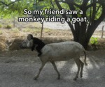 So My Friend Saw A Monkey Riding A Goat