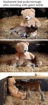 Orphaned Foal Pulls Through After Bonding With...