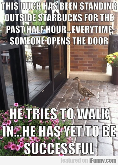 This duck has been standing outside Starbucks..