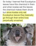 So Today I've Learned That Eucalyptus...