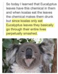 So Today I Learned That Eucalyptus Leaves...