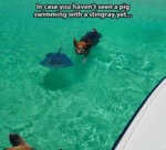 In Case You Haven't Seen A Pig Swimming With A..