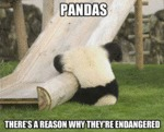 Pandas, There's A Reason Why They're Endangered