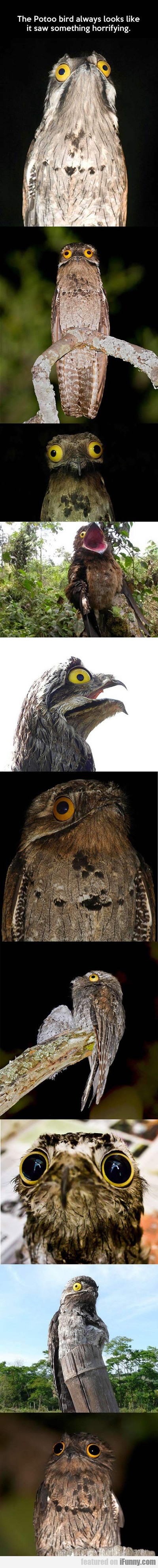 The Potoo Bird Always Looks Like It Saw...