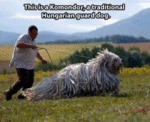This Is Komondor, A Traditional Hungarian Guard...