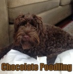 Chocolate Poodling