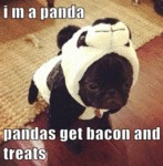 I M A Panda Pandas Get Bacon And Treats