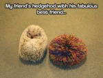My Friend's Hedgehog With His Fabulous Friend...