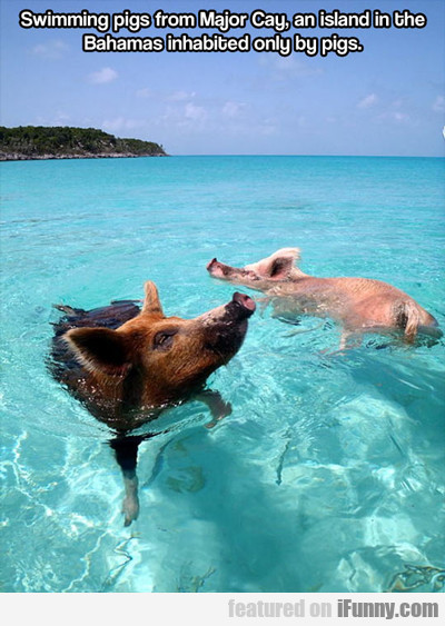 swimming pigs from major cay...