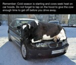 Remember: Cold Season Is Starting And Cows Seek...