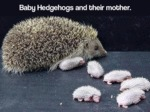 Baby Hedgehogs And Their Mother...