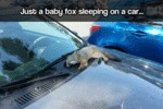 Just A Baby Fox Sleeping On A Car...