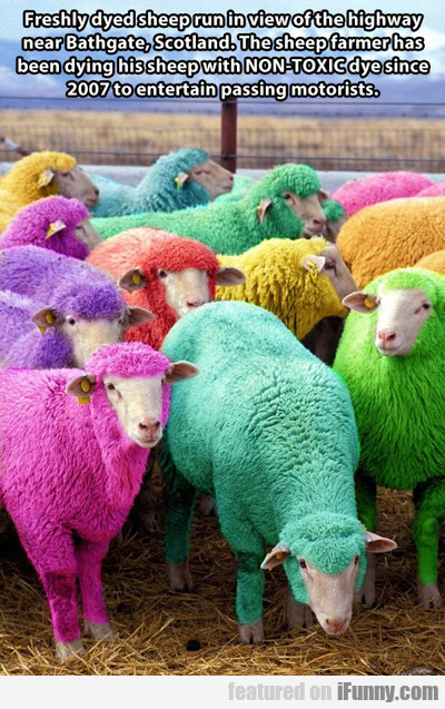freshly dyed sheep run in view of the highway...