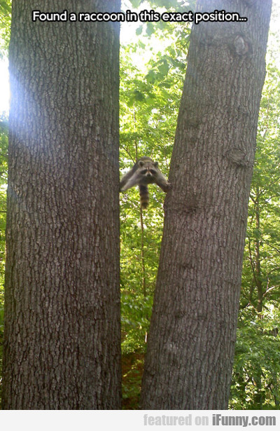 found a raccoon in this exact postion