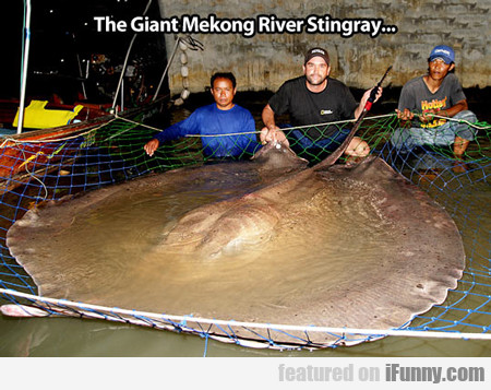 The Giant Mekong River Stingray...