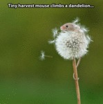 Tiny Harvest Mouse Climbs A Dandelion...