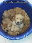 I Need A Bucket Of Goldens In My Life