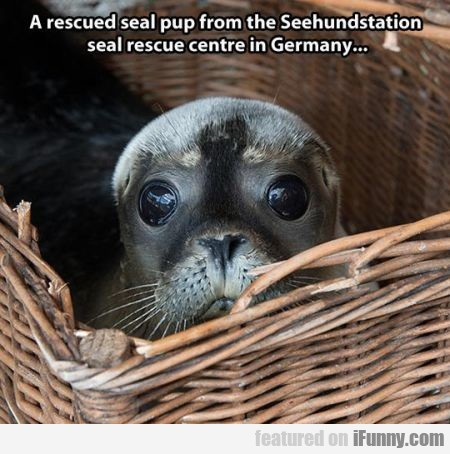 A Rescued Seal Pupp From The