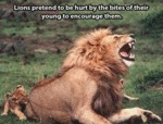 Lions Pretend To Be Hurt By The Bites Of Their...