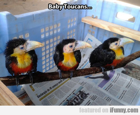Baby Toucans...