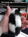This Guinea Pig Is Checker Patterned...
