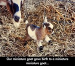 Our Miniature Goat Gave Birth To A Miniature..