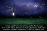 Fun Fact: Male Fireflies Flash...