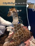 Daisy Giraffe, Day Two Icu At Tufts