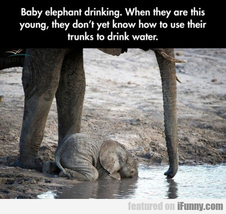 Baby Elephant Drinking. When They Are This Young..