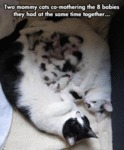 Two Mommy Cats Co-mothering The 8 Babies..