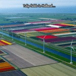 Tulip Fields In Holland...