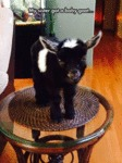 My Sister Got A Baby Goat...