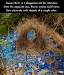 Bower Bird: In A Desperate Bid For Attention...