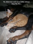 My Doberman And Rescue Kitten