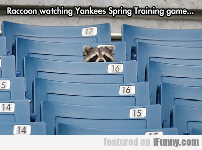 Raccoon Watching Yankees Spring Training Game...