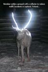 Reindeer Antlers Sprayed With A Reflector...