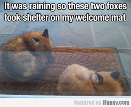 It Was Raining So These Two Foxes