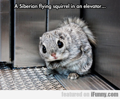 A Siberian Flying Squirrel In An Elevator