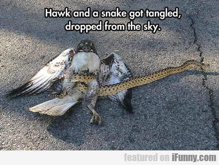 Hawk And A Snake Got Tangled...