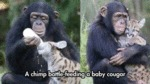 A Chimp Bottle-feeding A Baby Cougar