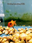 Groucho, The Angriest Goldfish...