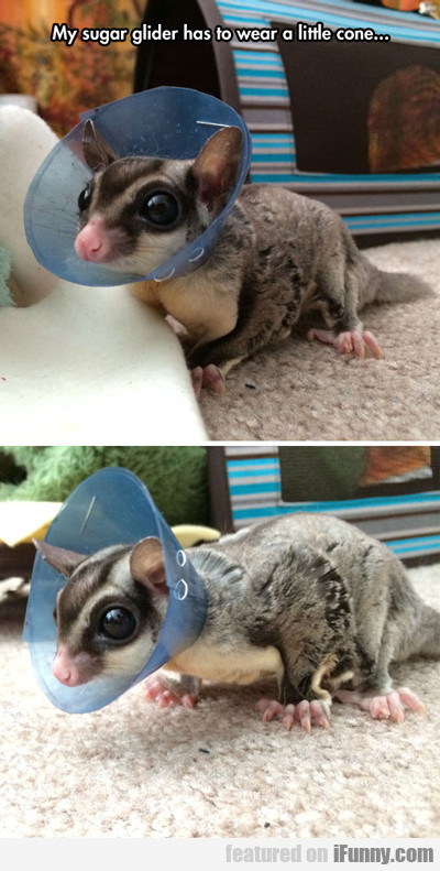 My Sugar Glider Has To Wear A Little Cone...
