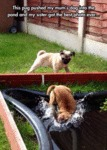 This Pug Pushed My Mom's Dog Into The Pond And..