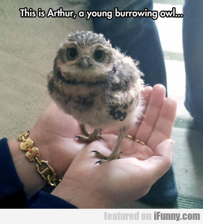 This Is Arthur, A Young Burrowing Owl..